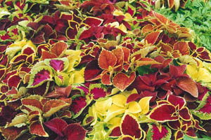Coleus - variegated leaves