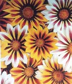 Gazania - Tiger Mix