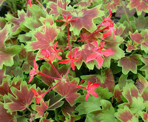 Maple Leaf Geranium