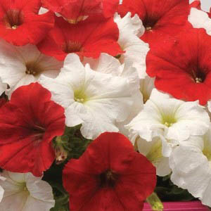 Petunia Easy Wave White and Red