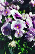 Pansy - Bedding Plants from Vale's Greenhouse
